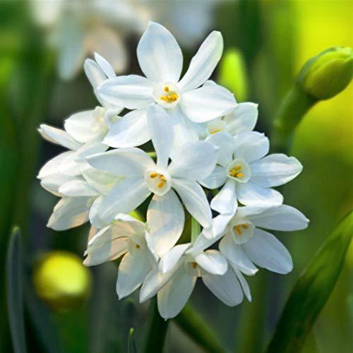 PRE-Order for Spring (YUN2) Paperwhite (Bulbs) (Ziva (14/15 cm), 10 Pack)