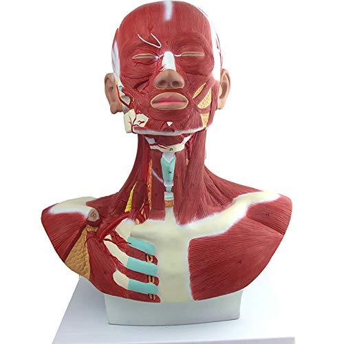 Músculos De Cabeza Y Cuello Modelo Anatómico Modelo Anatómico Músculo Modelo Anatómico Utilizado para Demostración De Enseñanza Médica Modelo del Cuerpo Humano
