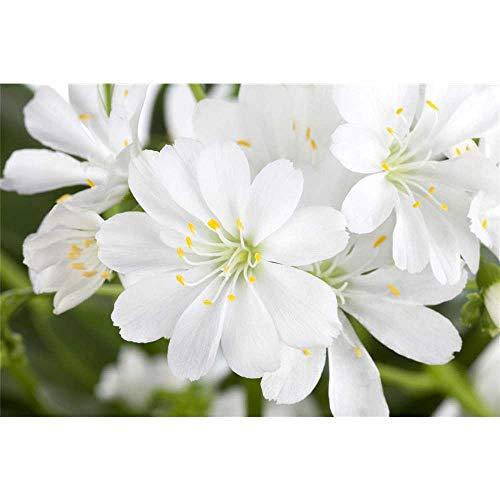 Lewisia cotyledon – Porzellanrösschen – Bitterwurz, weiß - im Topf 11 cm, in Gärtnerqualität von Blumen Eber - 11 cm