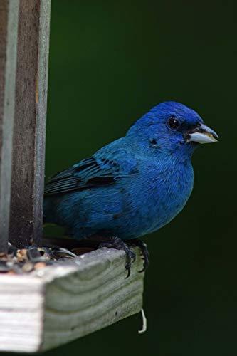 Indigo Bunting (Passerina Cyanea) Bird Journal: 150 page lined notebook/diary