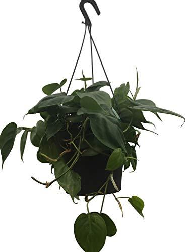Zimmerpflanze - Philodendron scandens - Baumfreund - in einem 15cm hängenden Topf und ca. 50cm lang