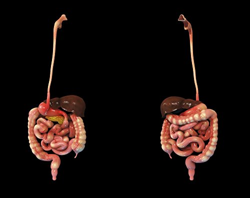 The Poster Corp Stocktrek Images – 3D Rendering of Human Digestive System. Photo Print (40,64 x 32,26 cm)