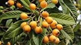 5 Fresh Loquat Live Tree Plant Cuttings. Pre-Dipped in Rooting Compound,