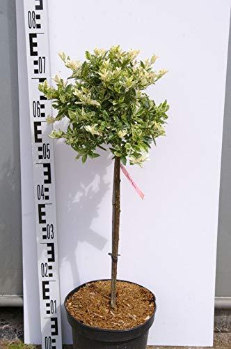 Euonymus fortunei Harlequin -...