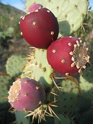 Opuntia ficus indica Nopal essbare Kakteen Nopalea Saft Nopalina Samen 20 Samen R