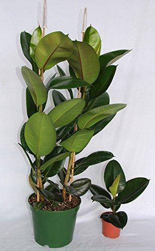 Ficus Robusta (70 - 90 cm (2 varas)) - Planta viva de interior