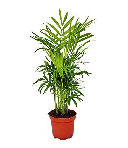 Exotenherz - Palmera de montaña - Chamaedorea elegans - 1 planta - fácil de limpiar - purifica el aire - maceta de 12 cm.