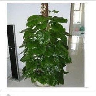 20seeds / sac Bracketplant semences belle décoration occasion pour décorer le balcon Livraison gratuite