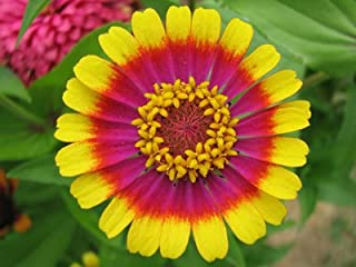 Circus Act Zinnia Flower Seed Pack