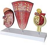 Modelo de estudio Modelo educativo Human Anatomy Set Modelo de riñón, modelo, modelo glomerular, modelo de sistema urinario para estudiante de medicina Médicos Anatómicos Médicos de enseñanza de enseñ