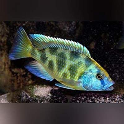 Venustus Cichlid - Live Aquarium Tropical Fish