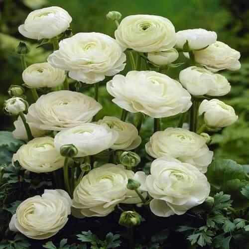 Beautytalk-Garten Riesen Ranunkel Mischung,persische Butterblume winterhart mehrjährig rosa Ranunculus Zierblumen exotische Blumen für Balkon, Garten