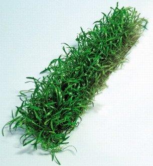WFW wasserflora Lilaeopsis brasiliensis Stretchpad/Brasilianische Graspflanze - dichte Matte 18 x 3 cm