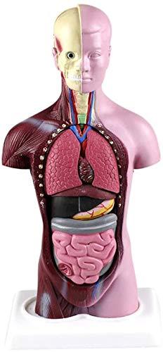 Modelo de estudio MINI MODELO DE TORSO HUMANO - MODELO ANATÓMICO DE TORSO VISCERAL DE 28 CM Modelo de anatomía del cuerpo humano -Detachable Modelo de anatomía para el estudio Modelo médico de enseñan