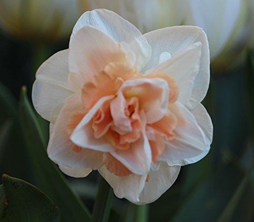 20 Großblumige gefüllte Narzissen Replete Blumenzwiebeln Narcissus
