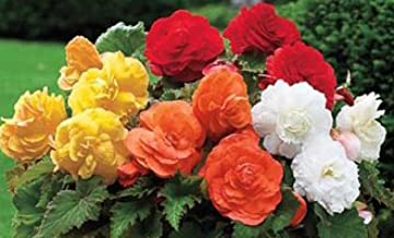 Deluxe Camellia Begonia Mixed Colors Flowering Bulb, Plant, Start, Root