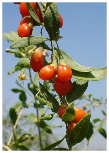 TROPICA - Bacca di Goji (Lycium barbarum syn. chinensis) - 200 Semi- Piante utili