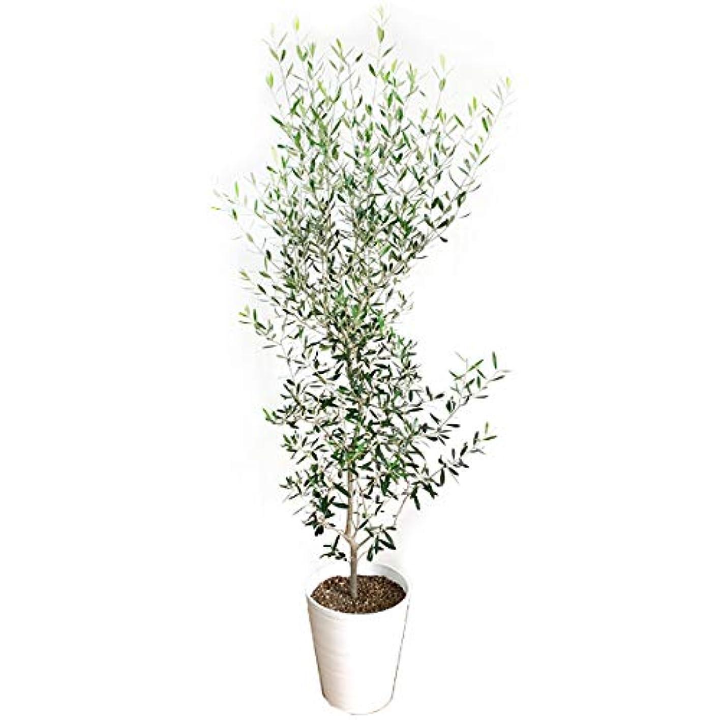 薄める真実警察オリーブの木 10号 ホワイトセラアート鉢 大鉢 大型 インテリア 庭木 鉢植え ガーデニング インテリア 観葉植物 大サイズ 本物 10号