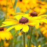 B/H Plantas Coloridas Semillas,Especie perenne de crisantemo Cono de Pino de Ojos Negros Resistente al frío Utilizada en macizos de Flores de jardín-250g,perennes Semillas de Flores