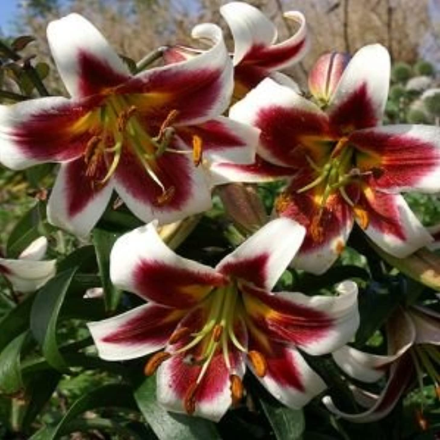 5 Huge Robert Griesbach Bulbs! Oriental Lily. End of Spring Clearance Prices!