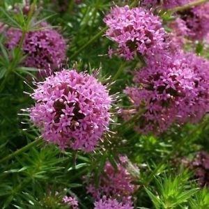 Crossworts Recht rosa Blumensamen...