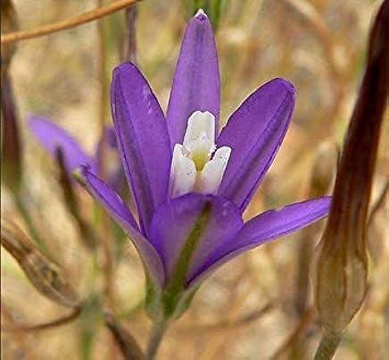 - Brodiaea Stellaris Seeds