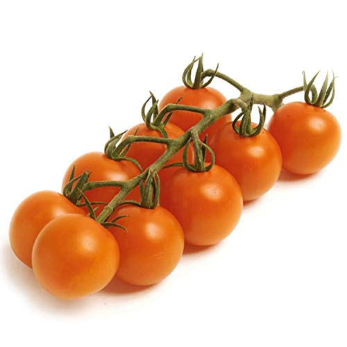 Volmary Cocktail-Tomate Manolo® 'Orange', F1 | Saatgut | Aromatisch-süße Früchte | für 6 Pflanzen