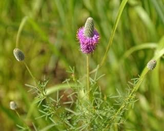 purple prairie clover plant