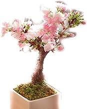 旭山桜 盆栽