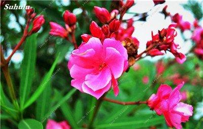 100 Pcs rares Nerium Graines Oleander Plantation Saisons de fleurs en pot Plantes culture facile Chine Graines Balcon Jardin Décoration 10