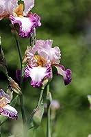 アイリス球根-花珍しい盆栽フレッシュハーブ再開花多年生の豪華なバルコニーの装飾開花,8 アイリス球根
