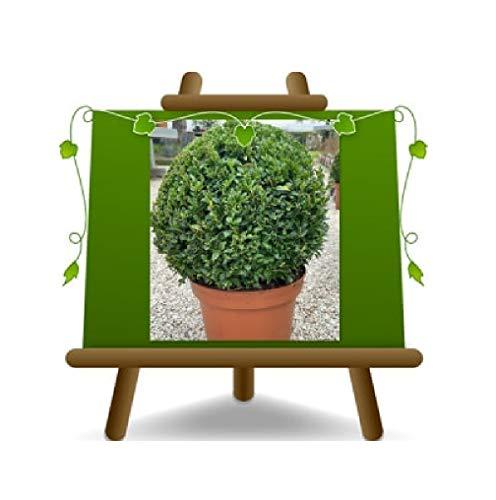 Buchsbuxus Pumila Ball Heckenpflanze niedrig - auf 30er Topf - Krone 50cm