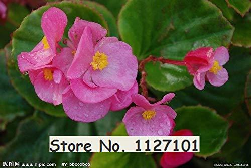GEOPONICS Su 24 tipi 200pcs Begonia Semi rari Semi fower per bonsai Casa e giardino Flor vaso di purificazione dell'aria semi 3