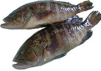 愛媛 宇和海産 マハタ 刺身 鍋 下処理済み 1.8-2.5kg