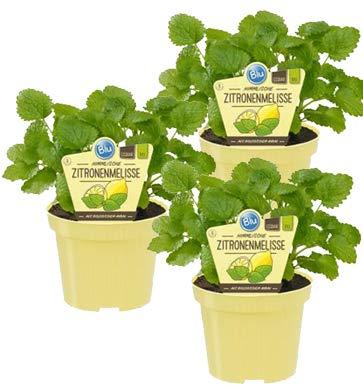 Bio Zitronenmelisse (Melissa officinalis), Kräuter Pflanzen aus nachhaltigem Anbau, (3 Pflanzen im Set)