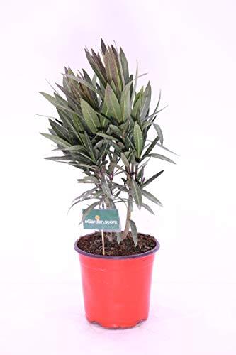 pianta di Oleandro Oleander Nerium Jannoch fiore rosso v17 pianta da esterno pianta da fiore venduto da eGarden.store