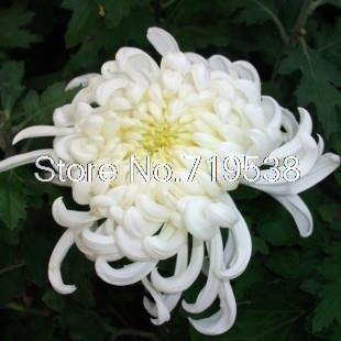 Potted Chrysanthemum semences facilement famille balcon des fleurs de chrysanthème plants saisons graines 30 graines
