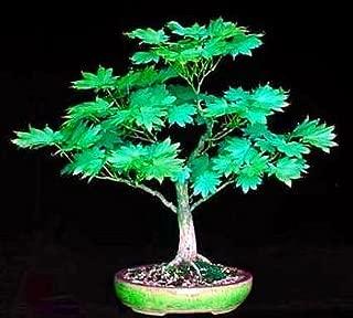 Tree Seeds - 5 Seeds of Sode No Uchi Japanese Maple - Bonsai/Outdoors