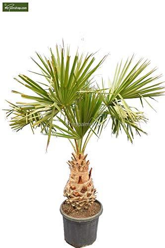 Carnavon Palme - Livistona nitida - Gesamthöhe: 220+cm Stamm 50+cm Topf Ø 50cm
