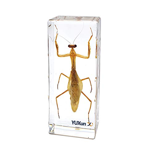 Cherish XT Insect Display Taxidermy Mantis Hierodula patellifera Praying Mantis Specimen Paperweight Science Clammroom Speciemn for Science Education