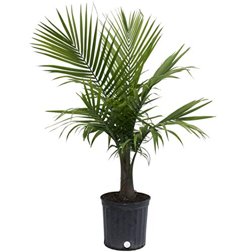 Costa Farms Majesty Palm Live Indoor Plant 3 to 4Feet Tall 3Foot