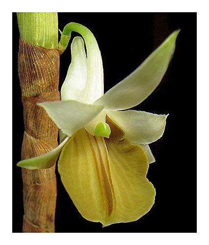Dendrobium ellipsophyllum - orchidées - 100 graines