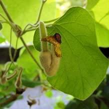 Aristolochia macrophylla  80-100 cm Pfeiffenwinde