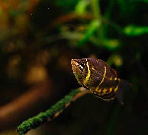 【熱帯魚・アナバス】 チョコレートグラミー ■サイズ:3cm± (5匹)