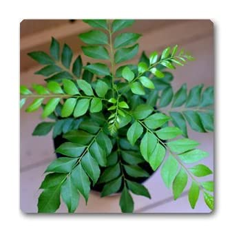 Curry Leaf Plant Seeds Small Bush Seeds Plant Seeds for Garden pack60 Seeds herb Seeds