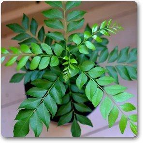 Semillas BloomGreen Co. Curry hoja de la hierba culinaria hierba para semillas de la planta al aire libre para jardín Paquete