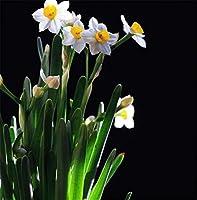 スイセン球根 - 冬に咲く家族の鉢植えの花飾り、非常に珍しい植物飾り,10球根