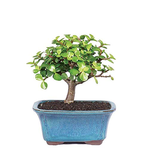 """Brussel's Bonsai Live Dwarf Jade Indoor Bonsai Tree-3 Years Old 4"""" to 6″ Tall with Decorative Container, Small"""