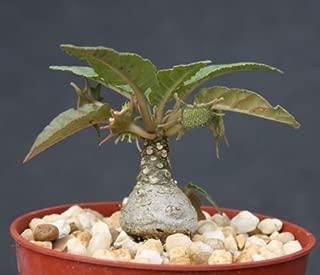 Dorstenia foetida exotic bonsai caudex rare succulent plant cactus cacti 4