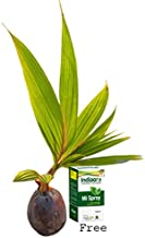 Puspita Rare Grafted Hybrid Coconut Plant Short Time Fruit with a 10ML MI Spray for Your Plants Health & its Safety